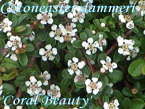 cotoneaster dammeri 39 coral beauty 39 a photo on flickriver. Black Bedroom Furniture Sets. Home Design Ideas