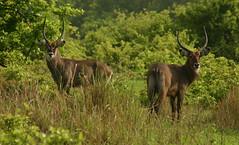 animal, prairie, mammal, waterbuck, fauna, pasture, grassland, wildlife,