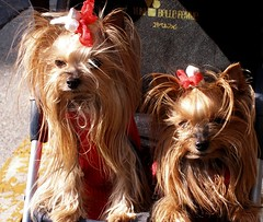 dog breed, animal, dog, pet, australian silky terrier, mammal, yorkshire terrier, terrier,