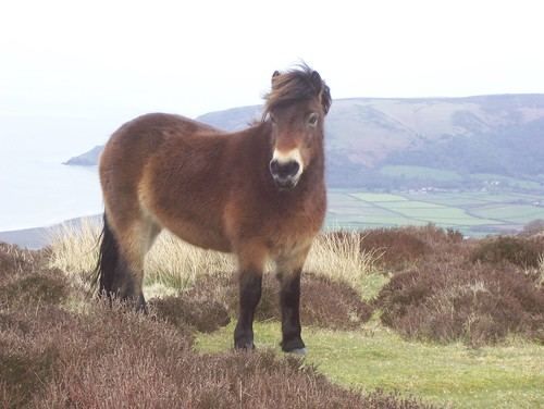 Exmoor pony with Vale of Porlock behind