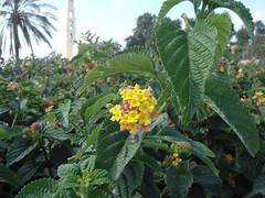 produce(0.0), fruit(0.0), food(0.0), shrub(1.0), flower(1.0), plant(1.0), flora(1.0), lantana camara(1.0),