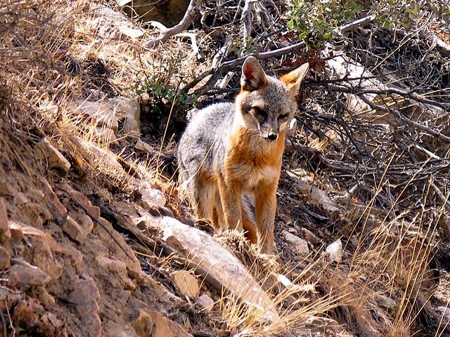 2007.03.09 - Gray fox