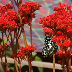 Butterfly and Red Flowers - Luang Prabang, Laos