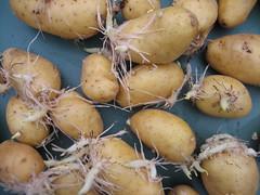 shallot(0.0), vegetable(1.0), potato(1.0), produce(1.0), food(1.0), root vegetable(1.0), tuber(1.0),