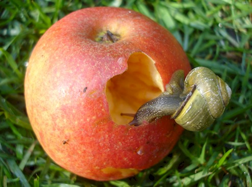 snail eating an apple Flickr - Photo Sharing!