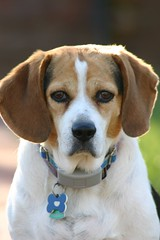 puppy(0.0), english coonhound(0.0), russell terrier(0.0), dog breed(1.0), nose(1.0), animal(1.0), hound(1.0), harrier(1.0), dog(1.0), treeing walker coonhound(1.0), english foxhound(1.0), american foxhound(1.0), pet(1.0), pocket beagle(1.0), mammal(1.0), finnish hound(1.0), hamiltonstã¶vare(1.0), estonian hound(1.0), beagle-harrier(1.0), beagle(1.0), coonhound(1.0),