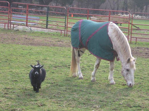pygmy goat and horse in paddock