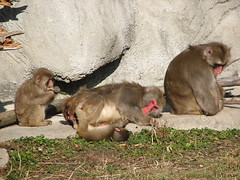 baboon(0.0), animal(1.0), monkey(1.0), mammal(1.0), fauna(1.0), japanese macaque(1.0), old world monkey(1.0),