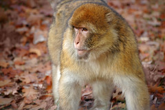 animal, monkey, mammal, fauna, old world monkey, new world monkey, macaque, wildlife,