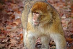 squirrel monkey(0.0), japanese macaque(0.0), animal(1.0), monkey(1.0), mammal(1.0), fauna(1.0), old world monkey(1.0), new world monkey(1.0), macaque(1.0), wildlife(1.0),