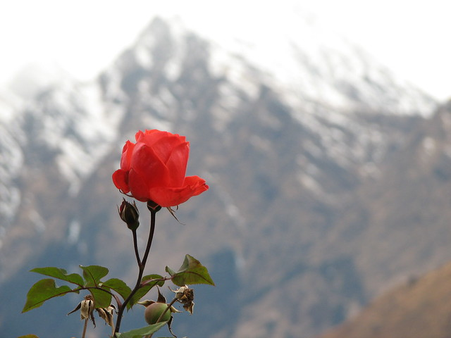 rose by a snowy mountain