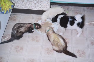 ferrets and pup
