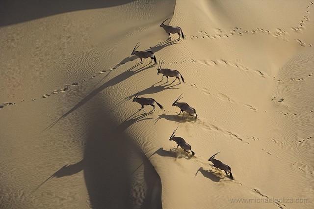 Oryx on dunes