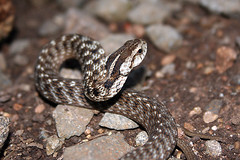 boas, animal, serpent, eastern diamondback rattlesnake, snake, reptile, fauna, viper, garter snake, close-up, rattlesnake, sidewinder, scaled reptile, wildlife,