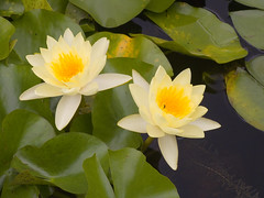Water Lillies Primrose-01+