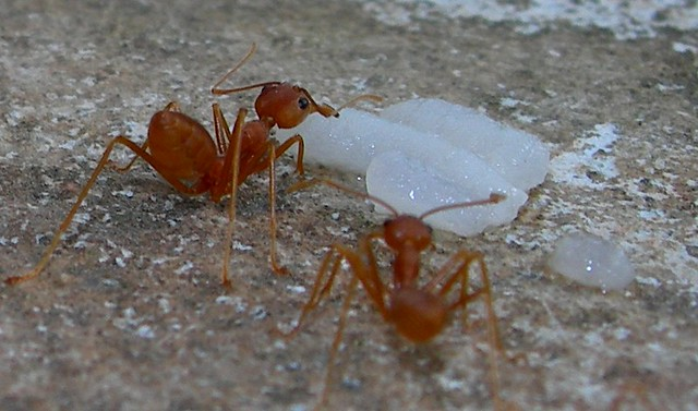 Red Ants - 01 | Flickr - Photo Sharing!