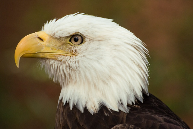 paige the bald eagle