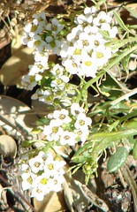 White Alyssum Flowers