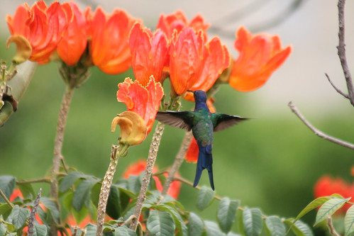 Beija-flor Tesoura - Swallow-tailed Hummingbird 28 115