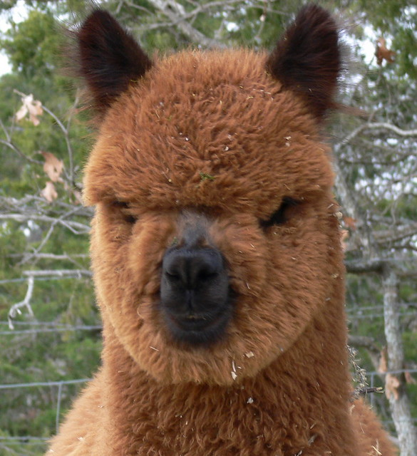 Alpaca or ewok?!