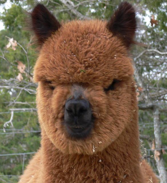 Alpaca Face 25 Alpacas with...