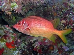 coral reef, animal, fish, fish, coral reef fish, marine biology, freshwater aquarium, underwater, pomacentridae,
