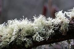 frozen lichen    MG 7241