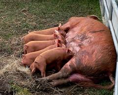 pigs nursing