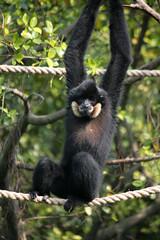 chimpanzee(0.0), white-headed capuchin(0.0), ape(0.0), gibbon(1.0), animal(1.0), zoo(1.0), primate(1.0), fauna(1.0), spider monkey(1.0), new world monkey(1.0), wildlife(1.0),