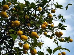 fruit tree, calamondin, citrus, branch, tree, kumquat, yuzu, flora, produce, fruit, food, bitter orange, tangerine, mandarin orange,