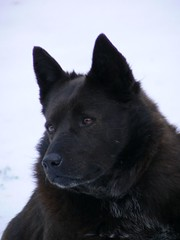 german shepherd dog(0.0), lapponian herder(0.0), karelian bear dog(0.0), norwegian elkhound(0.0), dog breed(1.0), animal(1.0), dog(1.0), greenland dog(1.0), tervuren(1.0), groenendael(1.0), belgian shepherd(1.0), wolfdog(1.0), east-european shepherd(1.0), carnivoran(1.0), schipperke(1.0),