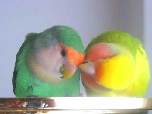 rita_y_fenix - Lovebirds - Inseparables