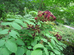 Aralia racemosa (fall fruit)