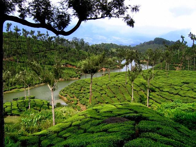 Tea garden, Munnar, Kerala