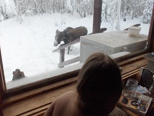 Moose visitation