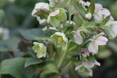 shrub, flower, plant, macro photography, hellebore, herb, flora,