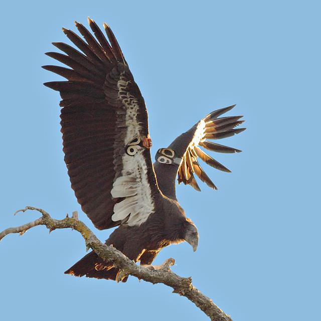 california condor  306