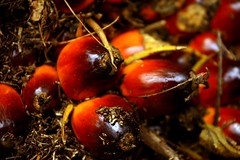 palm oil fruitlets by eddie.lau