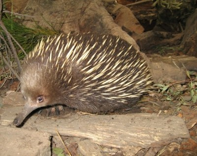 Echidna in Tasmania (if you like me, fave me! ;-)