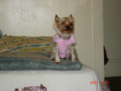 animal, dog, pet, norwich terrier, cairn terrier, carnivoran, yorkshire terrier, terrier,