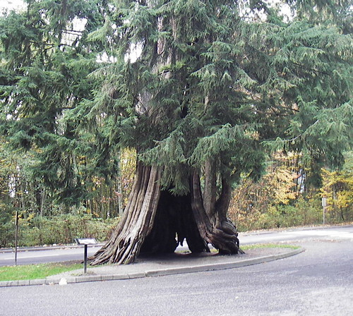Stanley Park's Old Hollow Tree