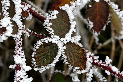 frosted blackberry    MG 7126