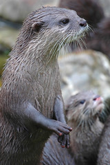 animal, marine mammal, mustelidae, fauna, sea otter, close-up, whiskers, mink, wildlife,