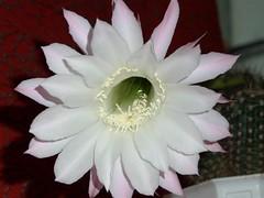 flower, epiphyllum oxypetalum, epiphyllum crenatum, cactus family, petal,