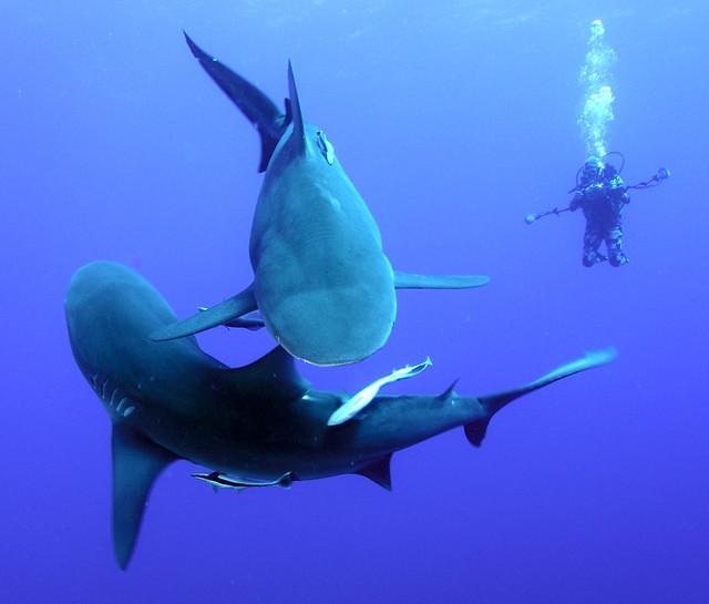 Shark Yin Yang