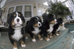 dog breed, animal, moscow watchdog, dog, pet, king charles spaniel, greater swiss mountain dog, spaniel, entlebucher mountain dog, cavalier king charles spaniel, bernese mountain dog, carnivoran,