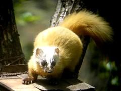 red panda(0.0), animal(1.0), mustelidae(1.0), mammal(1.0), fauna(1.0), polecat(1.0), whiskers(1.0),