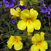 wide-throated yellow monkeyflower - Photo (c) Wayfinder_73, some rights reserved (CC BY-NC-ND)