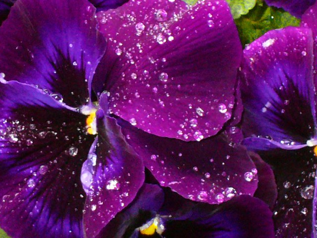 Pansy after the rain, Panasonic DMC-LC43