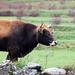 otra vaca